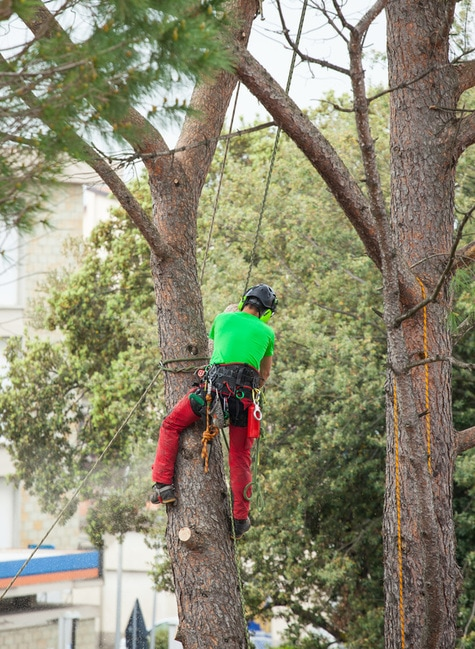 tree care professional climbing tree to trim the tree